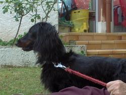 Bacus, chien Teckel