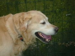Lucan, chien Golden Retriever