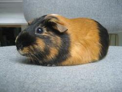 Bouboule, rongeur Cochon d'Inde