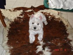 Brooklyne, chien West Highland White Terrier