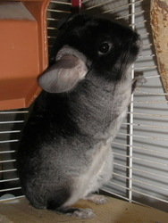 Shiva , rongeur Chinchilla