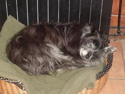 Jinka, chien Chien de montagne des Pyrénées