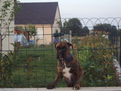 Lina, chien Boxer
