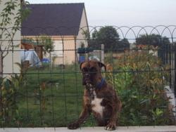 Lina, chien Boxer