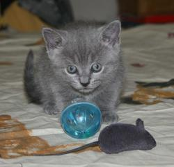 Loona, chat Chartreux