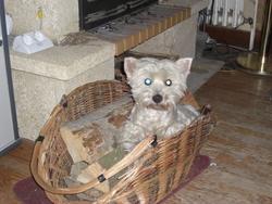 Rena, chien West Highland White Terrier