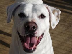 Bohème, chien Dogue argentin