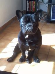 Fidjy, chien Bouledogue français