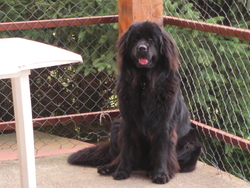 Chanelle, chien Terre-Neuve