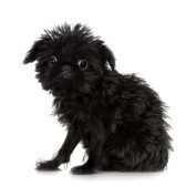 Roudoudou, chien Griffon belge