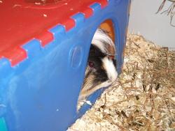 Peluche, rongeur Cochon d'Inde