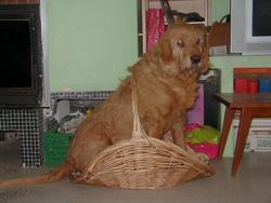 Banco, chien Griffon fauve de Bretagne