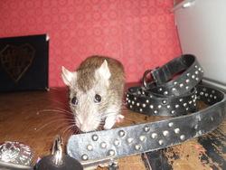Zela, rongeur Rat