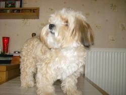 Eden, chien Yorkshire Terrier