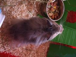 Képik, rongeur Hamster