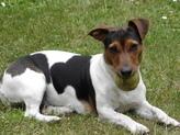 Utah, chien Jack Russell Terrier