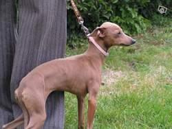 Jolie, chien Lévrier hongrois