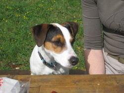 Bambou, chien Jack Russell Terrier