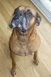 Tex, chien Boxer