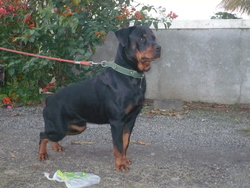 Ramsess, chien Rottweiler