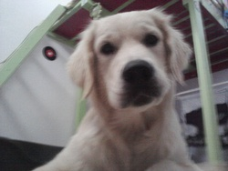 Yoda, chien Golden Retriever
