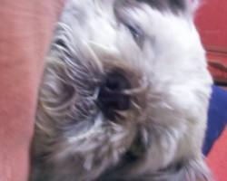 Fripouille, chien Shih Tzu