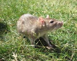 Cerise, rongeur Rat