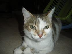 Mousse, chat Européen