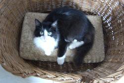 Figaro Dit Rififi, chat