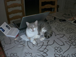 Nestor, chat Européen