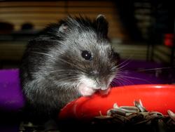 Maki, rongeur Hamster