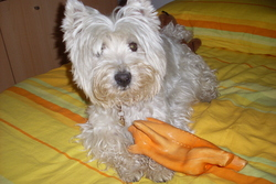 Amy, chien West Highland White Terrier
