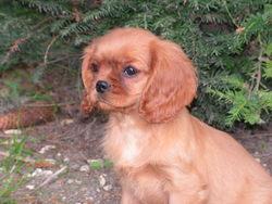 Farrah Fawcett, chien Cavalier King Charles Spaniel