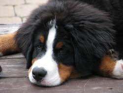 Urro, chien Bouvier bernois