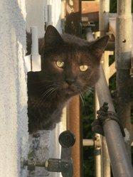 Grisouille, chat Bleu russe