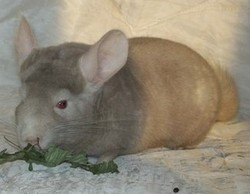 Jill , rongeur Chinchilla