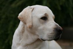 Cisqo, chien Labrador Retriever