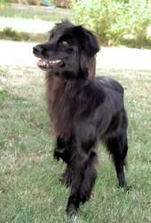 Urane, chien Berger des Pyrénées