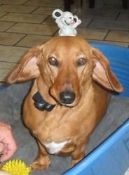 Canelle, chien Teckel