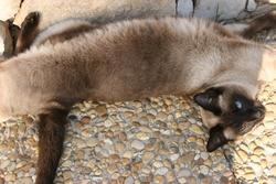 Guinzu, chat Siamois