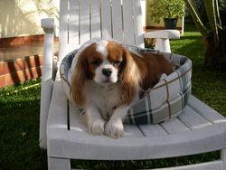 Sir Hasley, chien Cavalier King Charles Spaniel