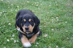 Ambre, chien Labrador Retriever