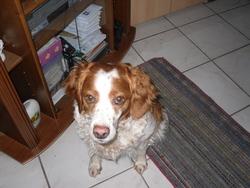Coquette, chien Épagneul breton