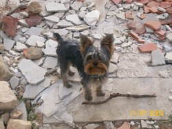 Domino, chien Yorkshire Terrier