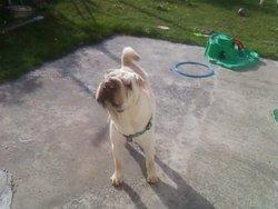 Una, chien Shar Pei