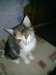 Kilari, chat Européen