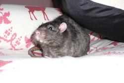 Barnabé, rongeur Rat