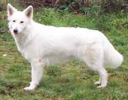 Dzanackh, chien Berger blanc suisse
