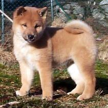 Kimmy, chien Shiba Inu