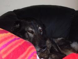 Mammouth, chien Berger de Russie